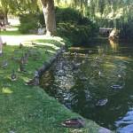 when ducks attack